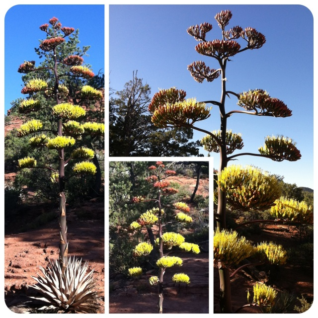 Century Plant on Jordan Trail